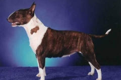 bullterrierminiature_m-2-1